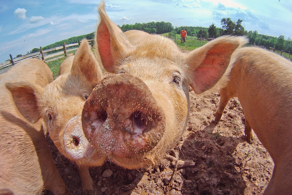 Pigs viewed through a fish-eye lens with a giant snout